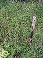 Hibiscus trionum agg. (AM AK299054-3).jpg