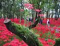Hidaka Kinchakuda Spider Lily 2.jpg