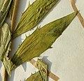 Hieracium laevigatum herbarium (03).jpg