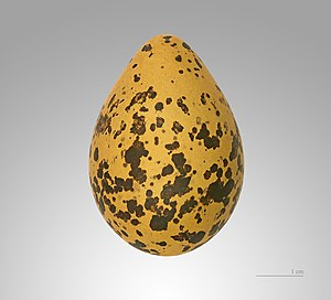 Black-winged stilt - Egg of Himantopus himantopus, MHNT