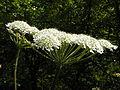 Hogweed aka Heracleum sphondylium.jpg