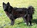 Hondenras Mudi.jpg