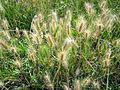 Hordeum marinum, Banat Serbia.jpg