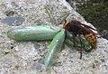 Hornet eating mantis-8.jpg