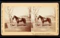 Horse Jeff Davis.png