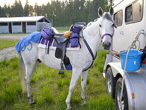 English: Horse standing ready at the trailer, ...