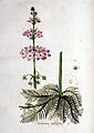 Hottonia palustris — Flora Batava — Volume v1.jpg