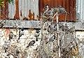 House Sparrow Passer domesticus flock by Raju Kasambe DSCN2160 (1) 11.jpg