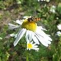 Hover fly on flower, Sandy, Bedfordshire (5926248384).jpg