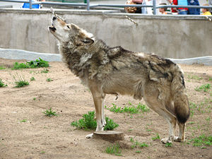 Howling wolf, in a moult stage. The Moscow zoo.