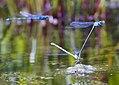 Hufeisen-Azurjungfer (Coenagrion puella).jpg