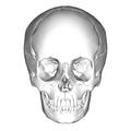 Human skull - anterior view.png