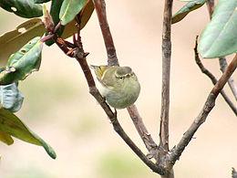 Hume's Warbler I2- Himachal- IMG 3402.jpg