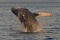 Humpback Whale, Breaching off Maui Coast.jpg
