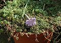 Hutchinsia alpina 4.JPG