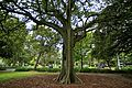 Hyde Park, Moreton Bay fig (6603543059).jpg