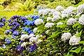 Hydrangea flower summer garden.jpg