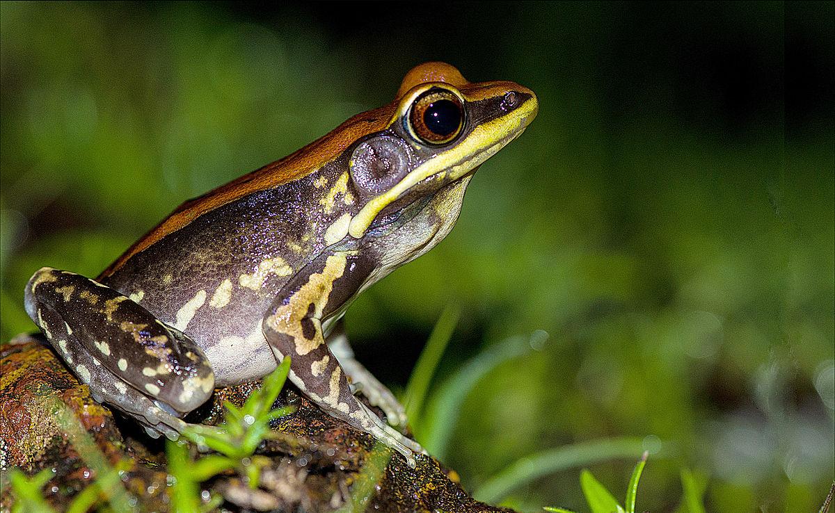 Fungoid Frog Wikipedia