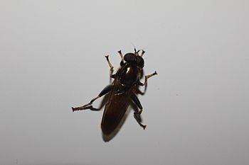 English: unidentified fly, picture taken on 26...