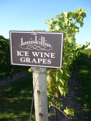 Vineyard in Ontario, Canada