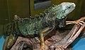 Iguana iguana (green iguana) (15697148496).jpg