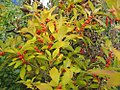 Ilex verticillata Maryland Beauty 2zz.jpg