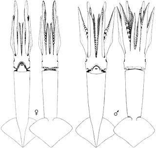 <i>Illex coindetii</i> species of mollusc