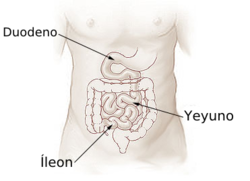 Illu small intestine español.png