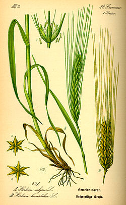 Illustration Hordeum vulgare0.jpg