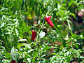 India - Colours of India - Pepper cultivation (2492156360).jpg