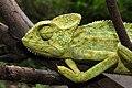 Indian Chameleon Chamaeleo zeylanicus by Dr. Raju Kasambe DSCN7134 (10).jpg