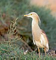 Indian Pond Heron in Breeding Plumage (7180372146).jpg