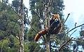 Indian Red Panda.jpg