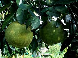 Indian pomelo.JPG