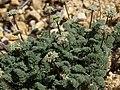 Indian spring parsley, Cymopterus aboriginum (44880532615).jpg
