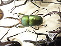 Insect Safari - beetle 13.jpg