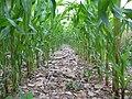 Intensive agriculture - Corn field (2144981534).jpg
