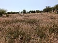 Invasión de pasto rosa africano (Melinis repens) en Dolores Hidalgo, Guanajuato.jpg