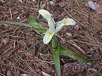 Iris palaestina 1.JPG