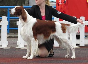 Setter - Irish Red and White Setter