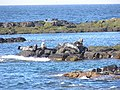 Isle Of May seals - geograph.org.uk - 107009.jpg