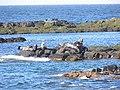 Isle Of May seals - geograph.org.uk - 107009.jpg