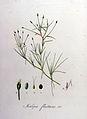 Isolepis fluitans — Flora Batava — Volume v8.jpg