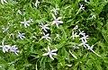 Isotoma axillaris Gemini Blue kz1.jpg