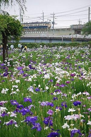 Itako, Ibaraki - Maekawa Iris Park