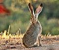 Jack Rabbit - Lepus californicus.jpg