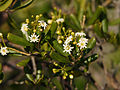 Jacquinia keyensis.jpg