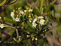Jacquinia keyensis