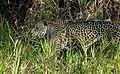 Jaguar (Panthera onca) female walking on the riverbank ... (48426668846).jpg