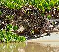 Jaguar (Panthera onca) young male walking along the river ... (48697879472).jpg